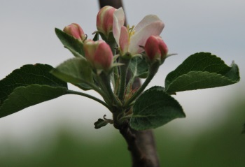 Honeycrisp 5-8 p2350w